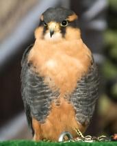 Aplomado Falcon social