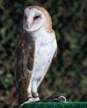 Barn Owl -1 social