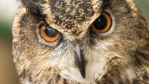 Eurasian Eagle Owl -3 social