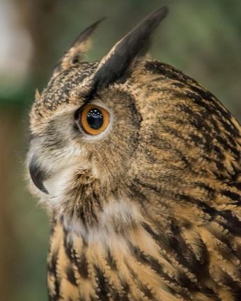 Eurasian Eagle Owl -4 social