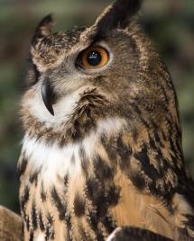 Eurasian Eagle Owl -8 social