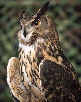 Eurasian Eagle Owl -9 social