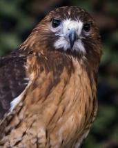 Redtail Falcon -2 social